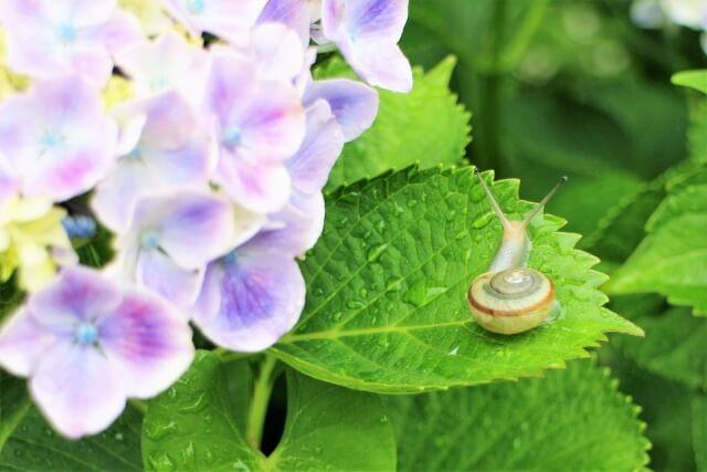 紫陽花の葉にカタツムリがいる、梅雨のイメージ写真