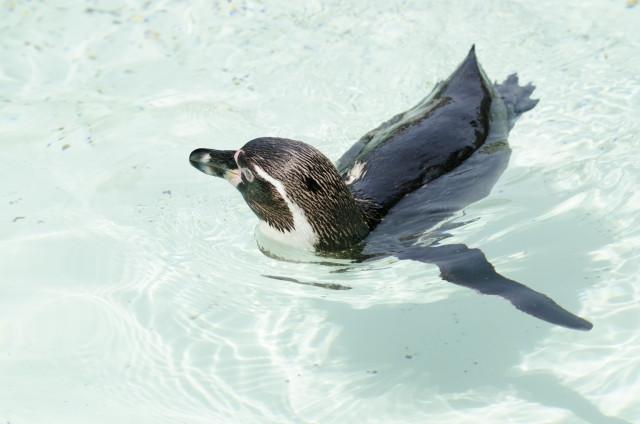 ペンギンが水に浮いている写真